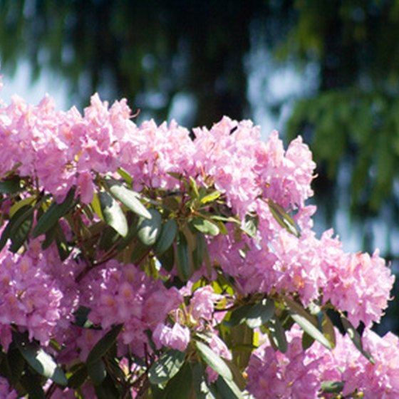 Rhododendrons are common in South Carolina's mountains