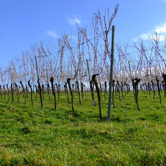 Grapevines waiting for spring