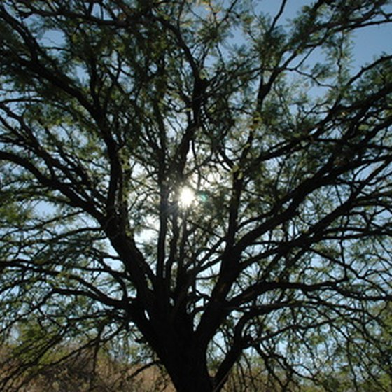 Palo Verde trees dot the landscape in southeastern Arizona.