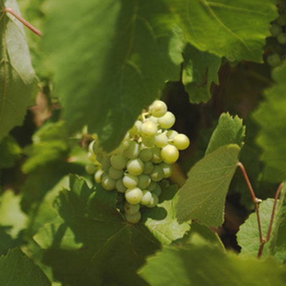 Wine grapes are a part of the Spanish landscape.