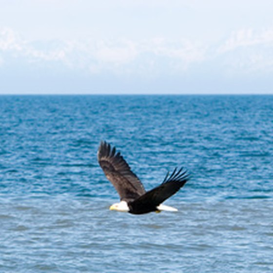 You'll find the American Bald Eagle living on Marco Island.