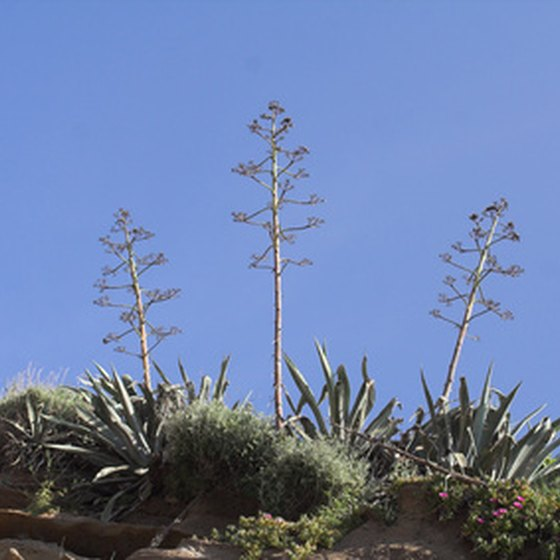 See how the agave plant becomes tequila during the Tequila Express train tour.