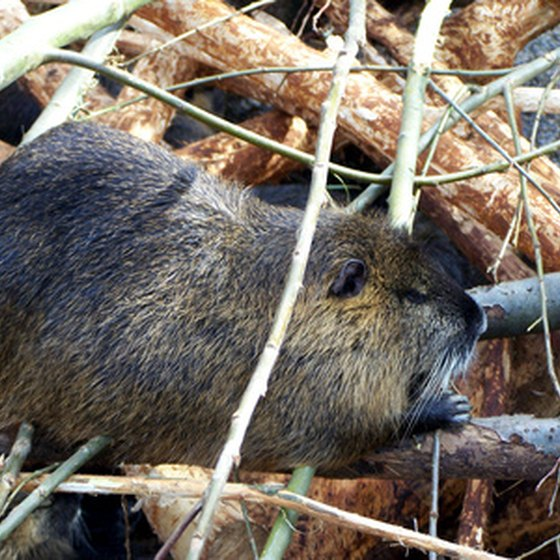 Beaver have recently been reintroduced to the New River State Park.