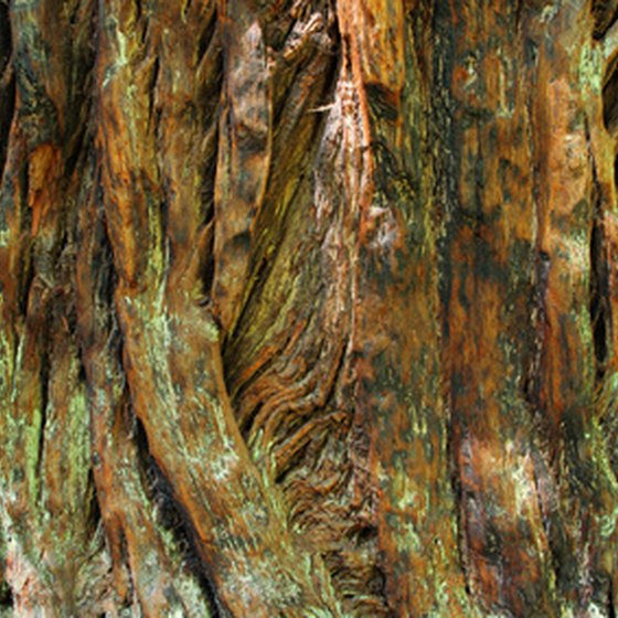 Redwood trees grow in wet and foggy coastal climates.