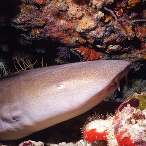 Nurse sharks are one attraction of Negril's dive sites.
