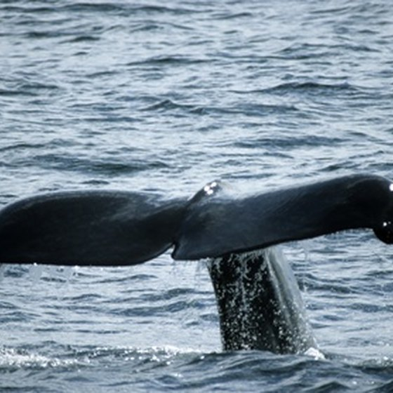 Whales are the main attraction on most San Diego nature cruises.