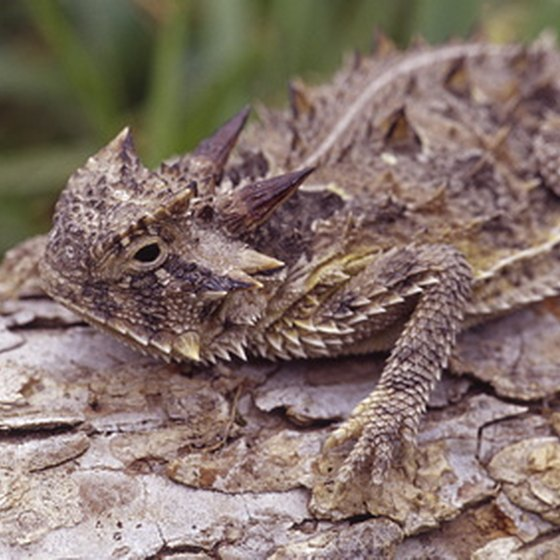 Visitors to Harlingen in southern Texas may catch a glimpse of the well-camouflaged Texas horned toad