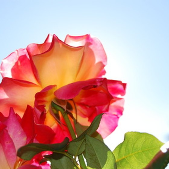 Though the city wasn't named for the flower, there are many beautiful roses to enjoy.