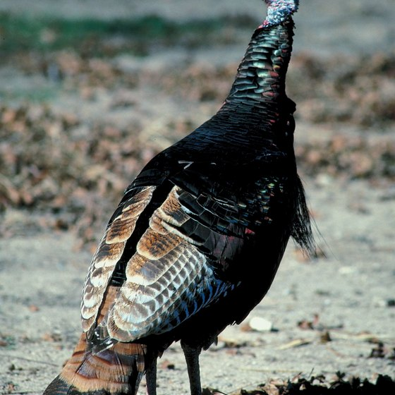 Wild turkey are among the game species in the Tunica Hills Wildlife Management Area.