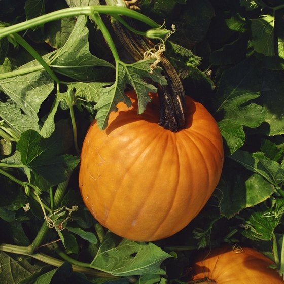 Visitors to the Lobenstein Farm Pumpkin Festival can pick their own pumpkins.