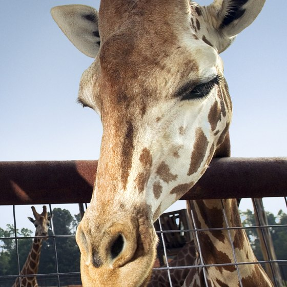 Giraffes are just one of the animals that can be seen at zoos near Indiana.
