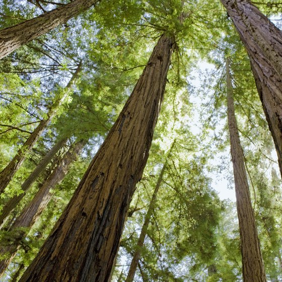Look up to appreciate the size of California's redwoods.