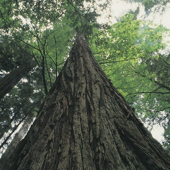California's coastal redwoods are the tallest trees in the world.