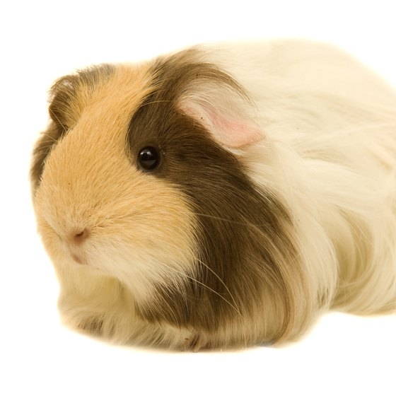Guinea pigs can be good travel companions if you plan things well.