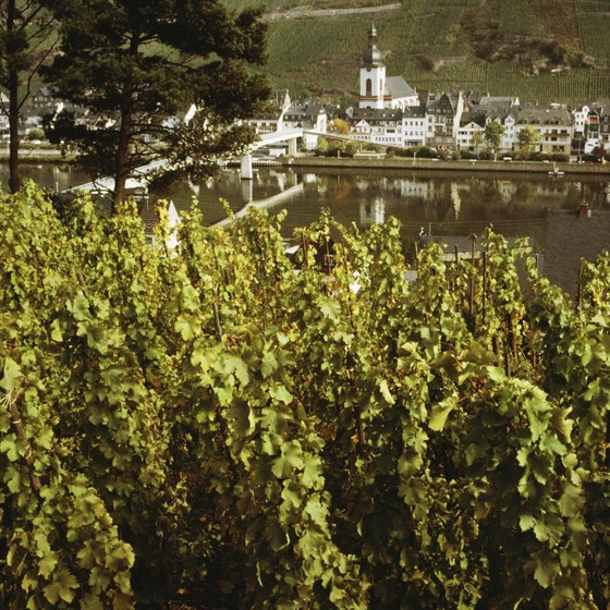 Mosel grapes in the Rhineland, Germany.