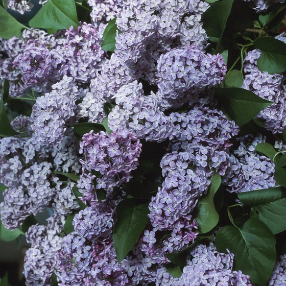 Lindsay is renowned for its beautiful Lilac Gardens and annual Lilac Festival.