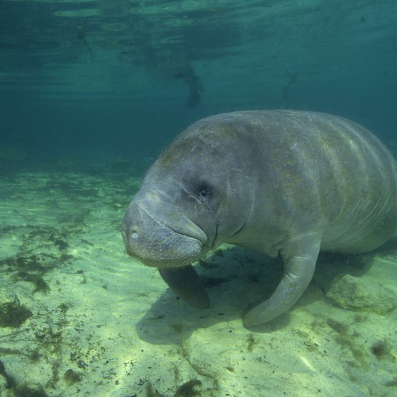 Manatees flock to warmer inland waters during the winter.