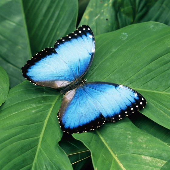 Costa Rica's vibrant butterflies and birds are a major tourist attraction.