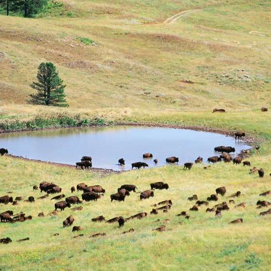 Watch for buffalo roaming in Custer State Park and do not approach them too closely.