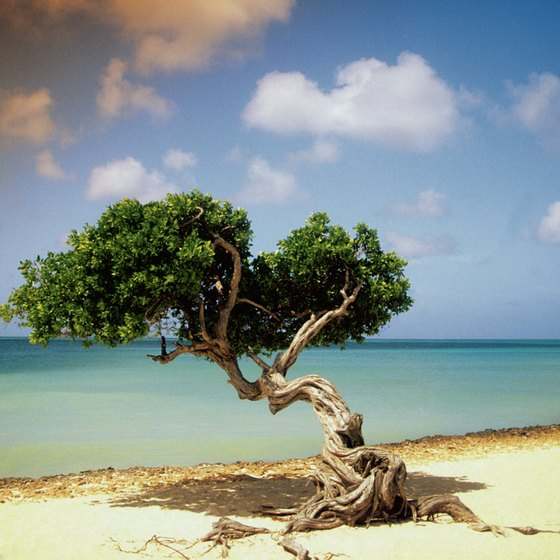 Aruba's divi-divi trees lean to the west due to constant trade winds.