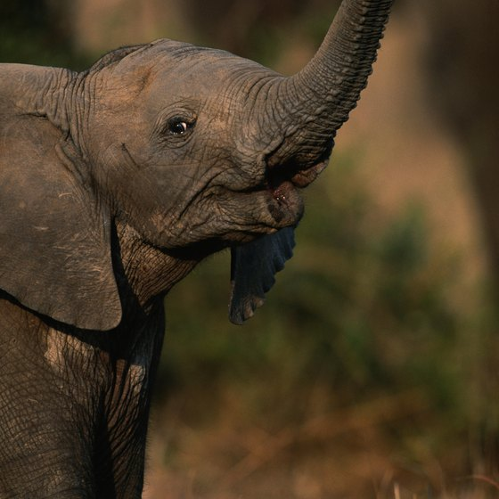 Thoughtful planning can put you within cooing distance of a baby elephant.