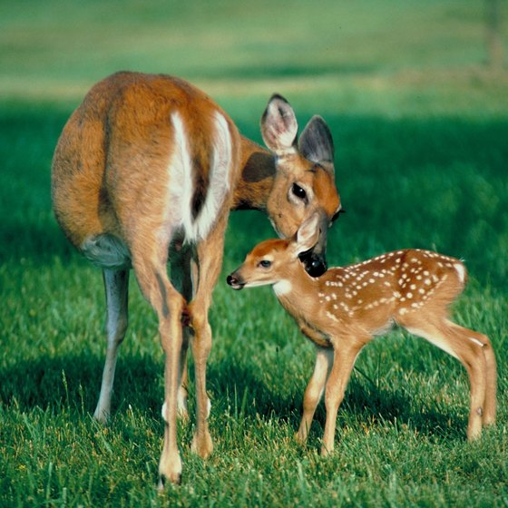 Interact with white tailed deer at several Wisconsin petting zoos.