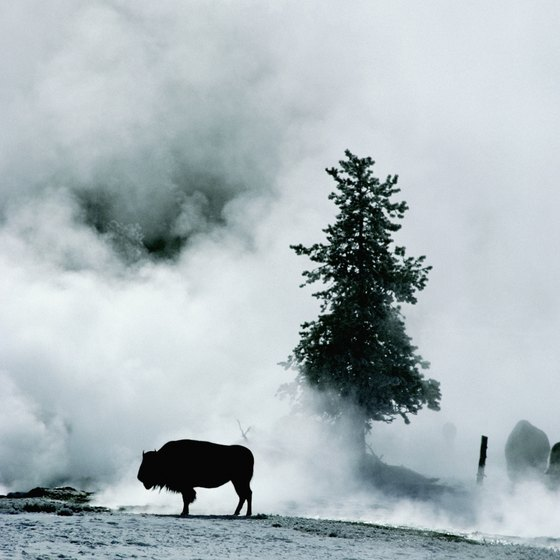 Winter is a good time to spot wildlife in Yellowstone as animals congregate around the hot springs for warmth.