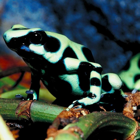 There are over 100 known species of poisonous dart frogs.