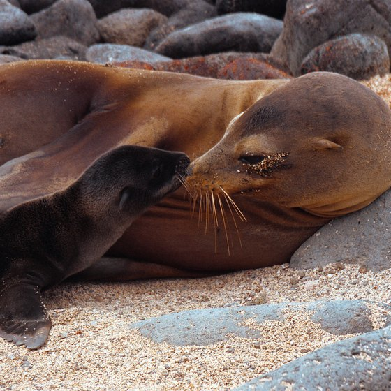 Closeup encounters with wildlife, such as this sea lion with its young, are commonplace in the Galapagos Islands.