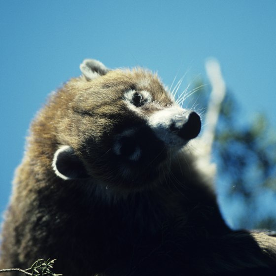 You might see a coati at Muleshoe Ranch.