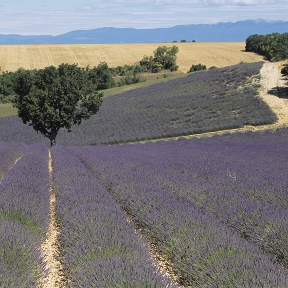 Renting a car is ideal for touring rural areas, like the lavender fields of Provence.