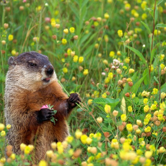 Groundhogs, black bears and bobcats inhabit Minnesota's parks.