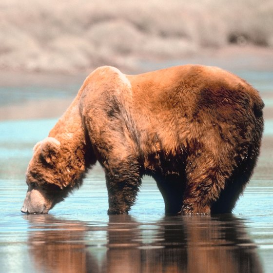 The lucky train passenger in Alaska might spot a brown bear.