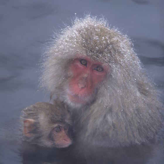 In the rural areas of Nagano, snow monkeys bath in natural hot springs.