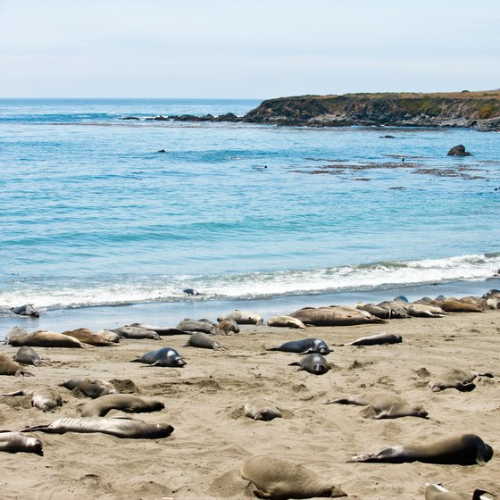 Look for elephant seals that make their homes in a rookery near San Simeon.