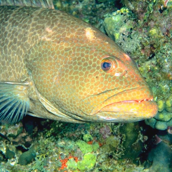 Catch grouper on natural or artificial reefs off Destin's shore.