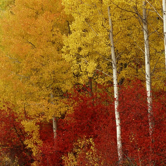 The leaves on aspen trees change colors usually beginning in September.