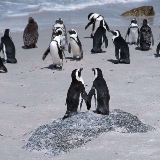 Out of 17 species of penguins, there are four native to Antarctica.
