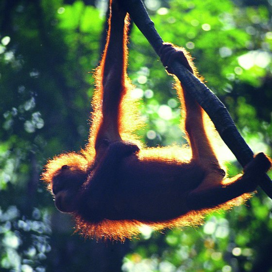 Bornean orangutans live in the lower forests of some East Malaysian ranges.
