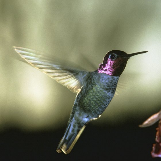 The tiny namesake bird is the main attraction at the annual Hummingbird Festival in Cadiz.