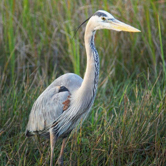 Observe Great Blue Heron in the creeks on Florida's Space Coast.