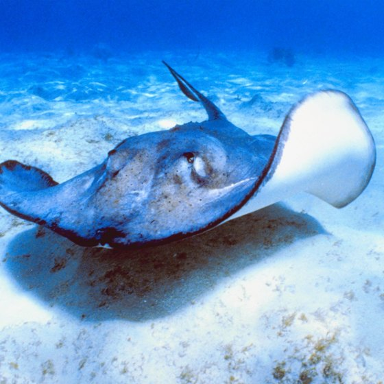 Animal lovers can swim with stingrays while visiting South Carolina's Myrtle Beach.