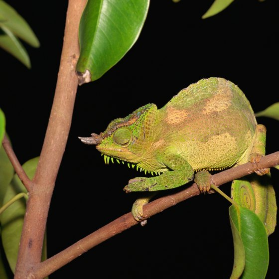 A four-horned chameleon, one of more than 100 reptile species in Nigeria.