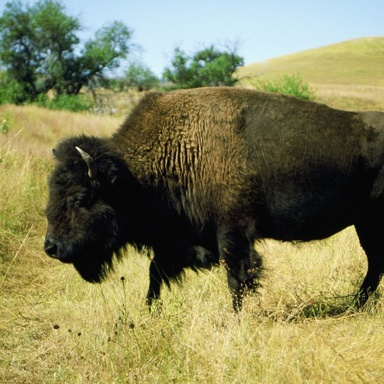 Custer State Park is home to one of the largest publicly owned herds of bison on the planet.