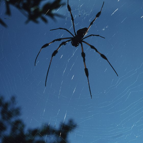 The small male banana spiders often build a web beside the larger female's web.