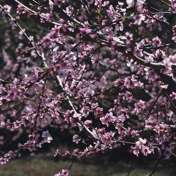 Spring peach blossoms are a common sight in Georgia.