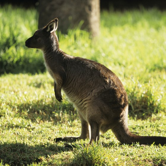 As its name indicates, Kangaroo Island is home to the largest marsupial.