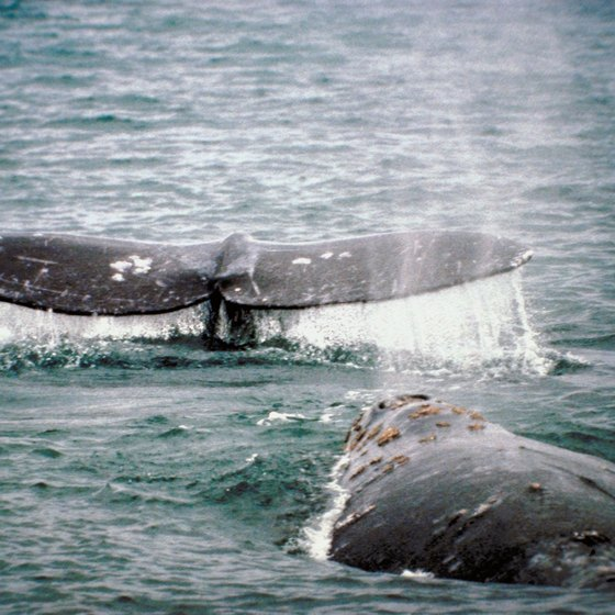 Depoe Bay is home to a pod of grey whales that frolic off the coast to the delight of visitors.