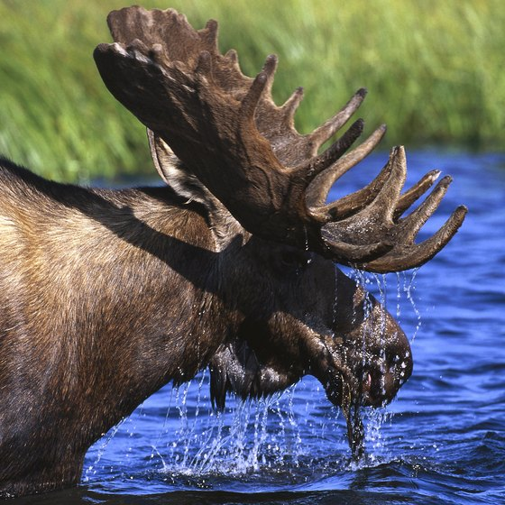 Moose roam Alaska's wilderness and sometimes wander into Anchorage.