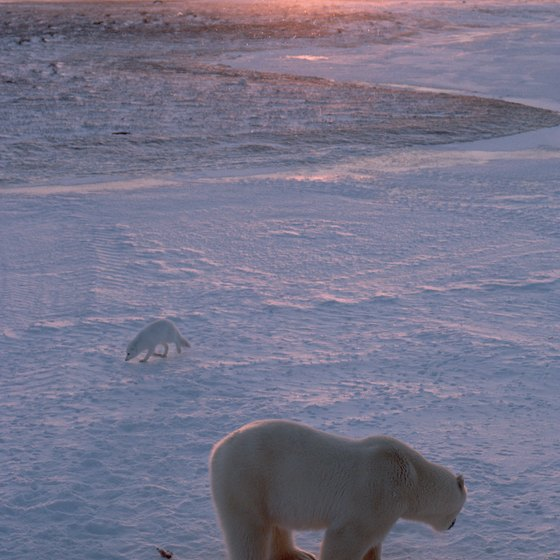 The polar bear and Arctic fox are two creatures of the tundra.